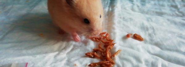 Хомяк ест гаммарус. Hamster eating crayfish