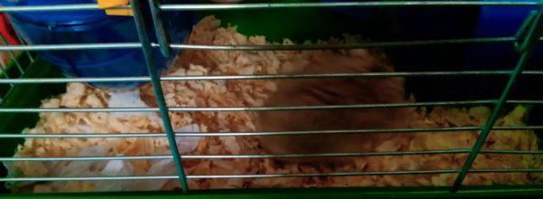Здивований хом'як з великими щоками!!🐹🐹😯😯 (Частина 1) Surprised hamster with big cheeks! Part 1