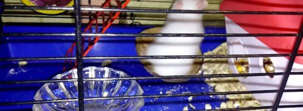 Пушистый хомяк с невестой – Fluffy hamster with a bride | Хомячуля: Secret Life Hamster – Pets