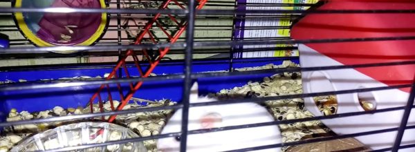 Как дела у хомяков? – How are hamsters doing? | Хомячуля: Secret Life Hamster – Pets