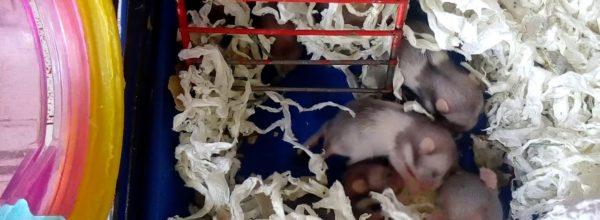 Малыши сирийского хомяка. Ням-ням 🐹Hamsters Babies | Хомячуля: Secret Life Hamster – Pets