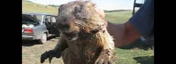 Как кричит сурок   How marmot screams