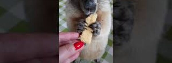 Ем вкусняшку в кадре#сурок#прикольные животные#marmot