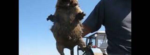 Как кричит сурок   How marmot screams #shorts